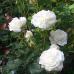 Роза флорибунда Ледреборг Кастл