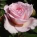 Роза шраб Лавли Мейдиланд