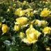 Роза флорибунда Марселисборг