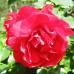 Роза шраб Колоссаль Мейдиланд