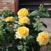 Роза флорибунда Микеланджело