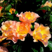 Роза канадская Моден Санрайс