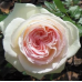 Роза плетистая Пале Роял