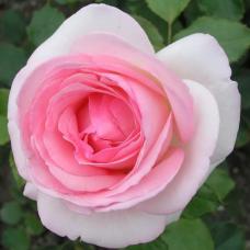 Роза плетистая Эден Роуз=Пьер де Ронсар