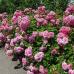 Роза почвопокровная Пинк Свани