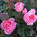 Роза канадская Прейри Джой