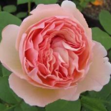 Роза чайно-гибридная Принцесса Шарлен де Монако