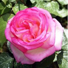 Роза чайно-гибридная Принцесса де Монако