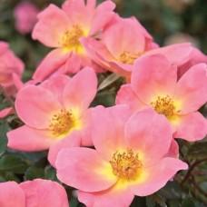 Роза шраб Рейнбоу Кнок Аут