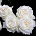 Роза чайно-гибридная Пьер Ардити = Ломоносов