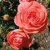 Роза флорибунда Шакенборг Кастл