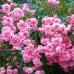 Роза почвопокровная Зе Фейри (Пинк Фейри)
