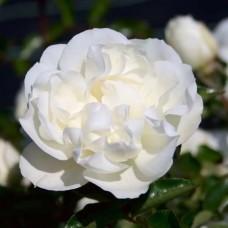 Роза шраб Уайт Мейдиланд