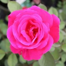 Роза канадская Виннипег Паркс