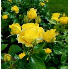 Роза почвопокровная Еллоу Фейри