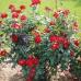 Роза чайно-гибридная Альянс