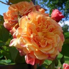 Роза плетистая Кордес Алоха