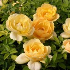 Роза почвопокровная Амбер Ковер