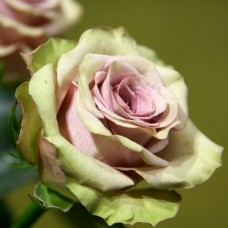 Роза чайно-гибридная Амнезия