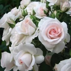 Роза флорибунда Аспирин Роуз