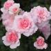 Роза шраб Боника 82 на штамбе