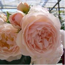 Роза шраб Шанталь Томас