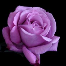 Роза чайно-гибридная Шарль дэ Голь