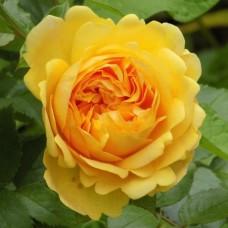 Роза чайно-гибридная Чиппендейл Голд