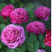 Роза чайно-гибридная Клод Брассёр