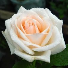 Роза чайно-гибридная Океан Клер