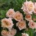 Роза чайно-гибридная Крем Карамель