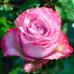 Роза чайно-гибридная Дип Вотер