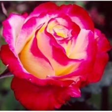 Роза чайно-гибридная Дабл Делайт (Двойное Удовольствие)