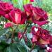 Роза чайно-гибридная Эдди Митчел