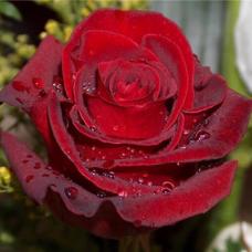 Роза чайно-гибридная Эксплорер
