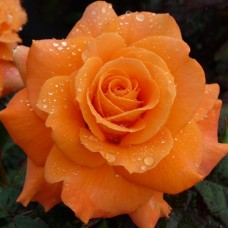 Роза чайно-гибридная Флора Даника
