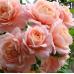 Роза флорибунда Гейша