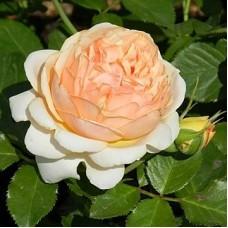 Роза флорибунда Женевьев Орси