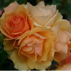 Роза флорибунда Хансэштадт Росток