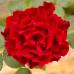 Роза чайно-гибридная Омаж а Барбара на штамбе