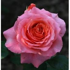 Роза шраб Анститю Люмьер