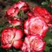 Роза флорибунда Юбилей Принца де Монако