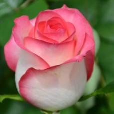 Роза чайно-гибридная Джумилия