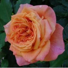 Роза шраб Ла Вилла Кота