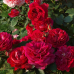 Роза шраб Лами Дэ Жардан