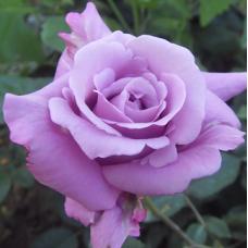 Роза чайно-гибридная Майнзер Фастнахт
