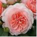 Роза флорибунда Мархенцаубер