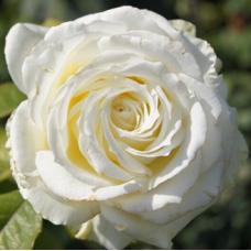 Роза чайно-гибридная Мемори