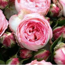 Роза плетистая миниатюрная Мини Эден Роуз