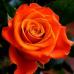 Роза чайно-гибридная Моника на штамбе